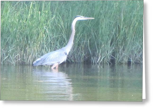 Great Blue Heron Reflecting Greeting Card by Debbie Nester
