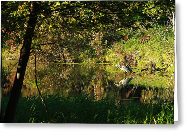 Great Blue Heron Reflecting Greeting Card by James Hammen