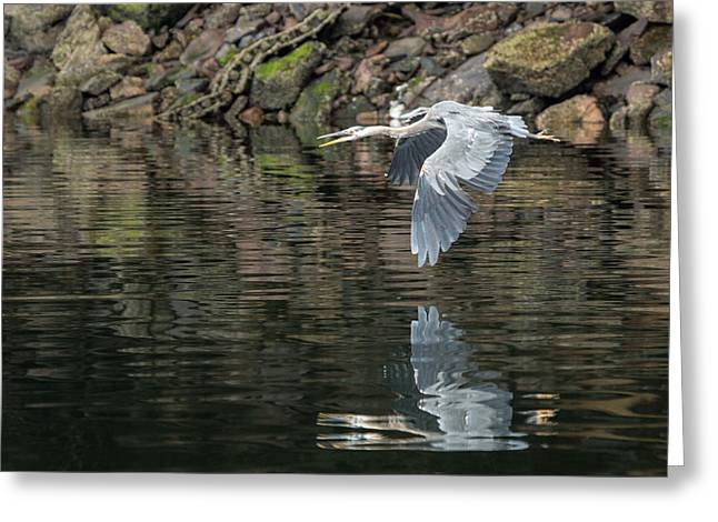 Great Blue Heron Reflections Greeting Card by Jennifer Casey
