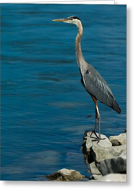 Great Blue Heron Greeting Card by Sebastian Musial
