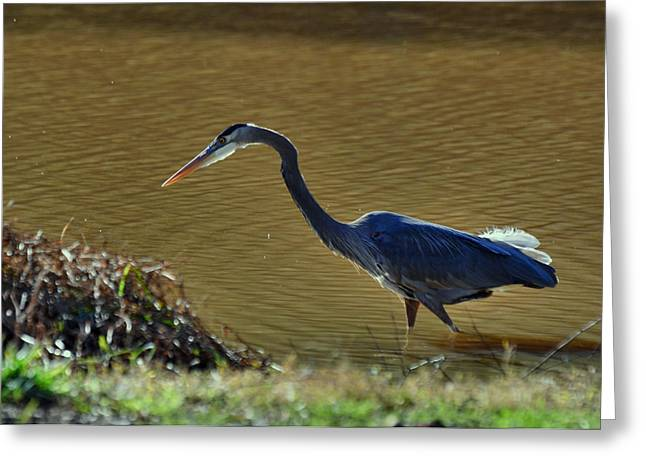 Great Blue Heron Stalking Prey - 9168c Greeting Card by Paul Lyndon Phillips