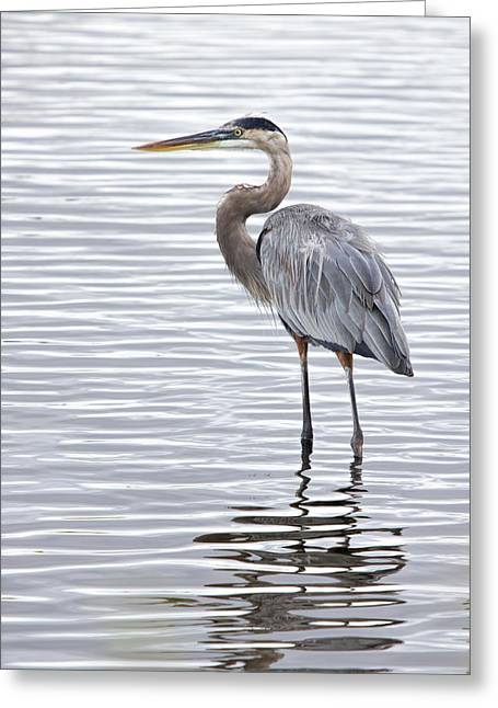 Great Blue Heron Standing In Water Greeting Card