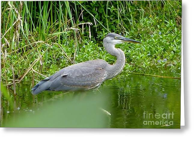 Greeting Card featuring the photograph Great Blue Heron  by Susan Garren