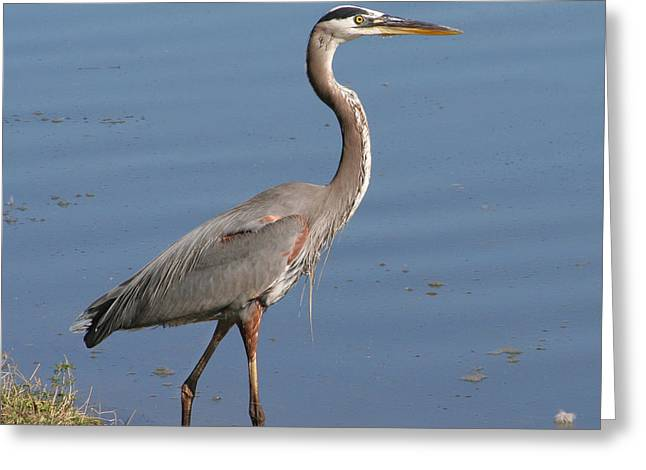 Greeting Card featuring the photograph Great Blue Heron Wading by Bob and Jan Shriner