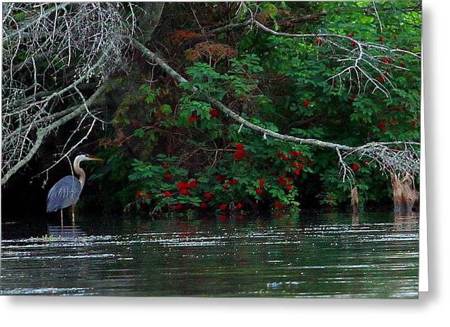 Great Blue Heron Wading Greeting Card by James Hammen