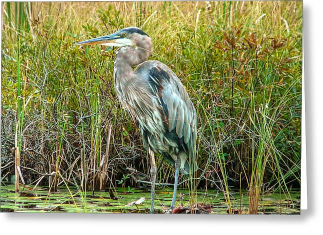 Great Blue Heron Waiting For Supper Greeting Card