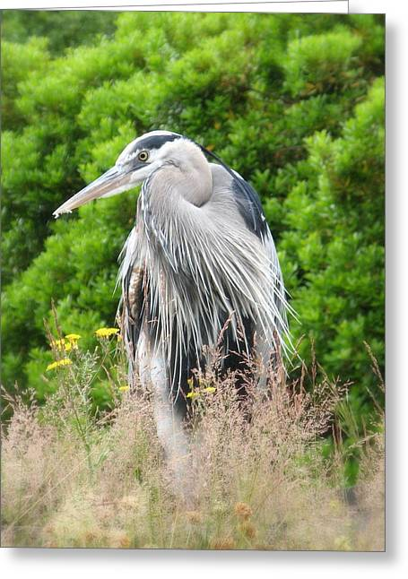 Great Blue Heron Watching And Waiting Greeting Card by Brian Chase