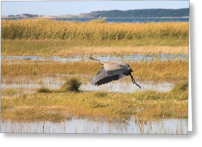 Great Blue Heron Wellfleet Bay Marsh Greeting Card