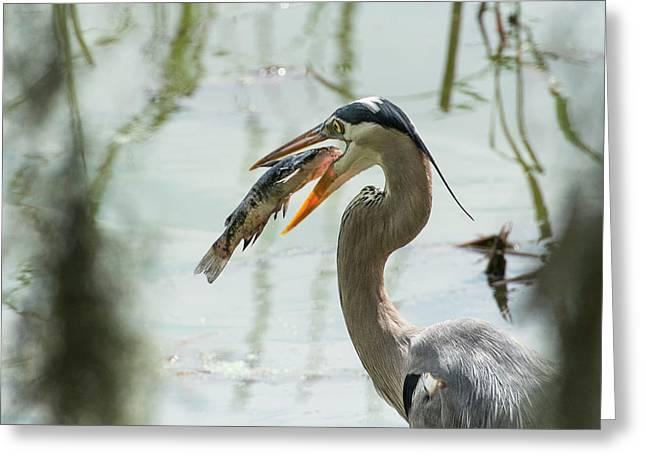 Great Blue Heron With Fish In Mouth Greeting Card