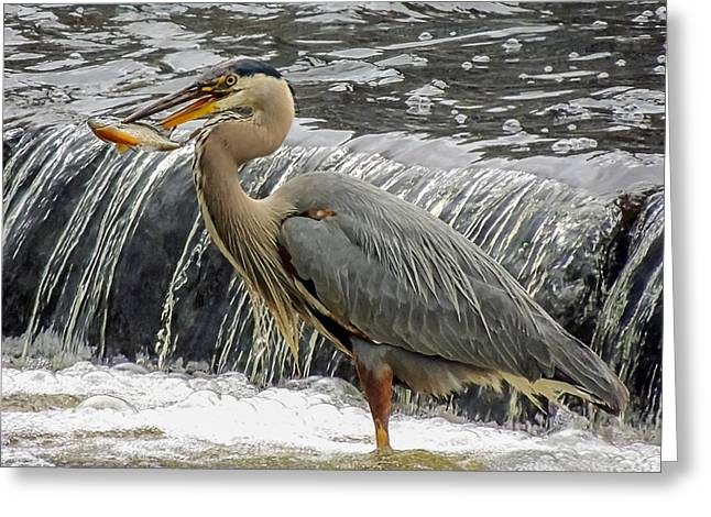 Great Blue Heron With Fish Greeting Card