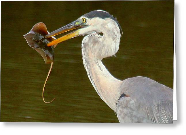 Great Blue Heron With Stingray Greeting Card