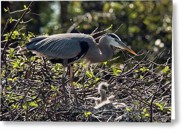 Great Blue Herons Greeting Card