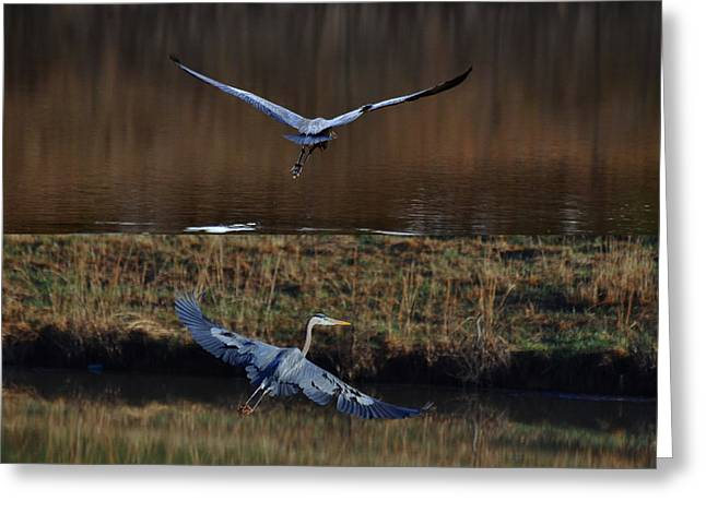 Great Blue Herons In Morning Flight 1346d2 Greeting Card