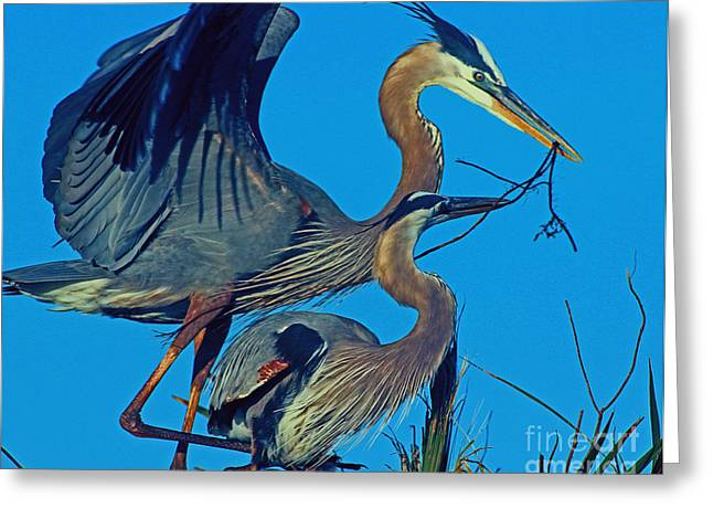 Greeting Card featuring the photograph Great Blue Herons - Nest Building by Larry Nieland