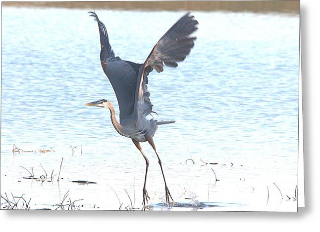 Great Blue Lift Off Series 1 Greeting Card by Roy Williams