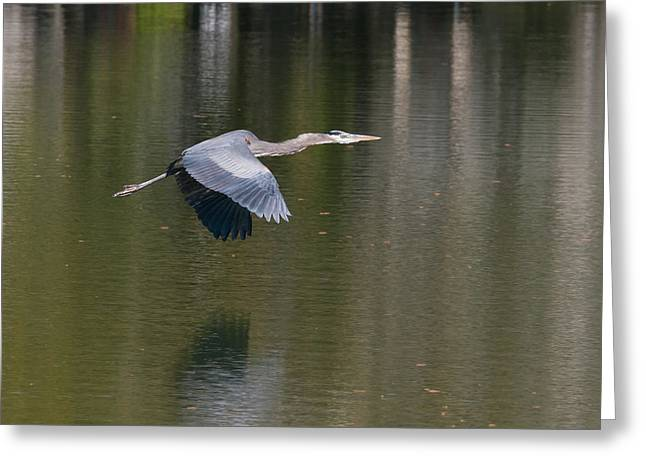 Great Blue Over Green Greeting Card