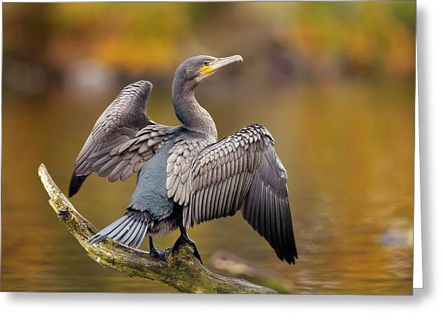 Great Cormorant Drying Its Wings Greeting Card by Simon Booth