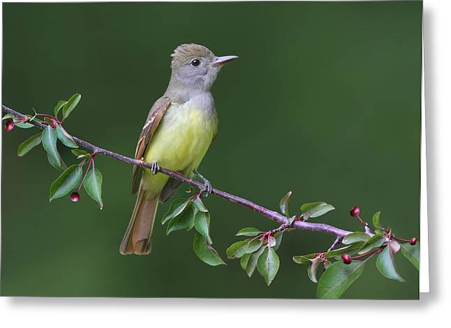 Great Crested Flycatcher Greeting Card by Daniel Behm