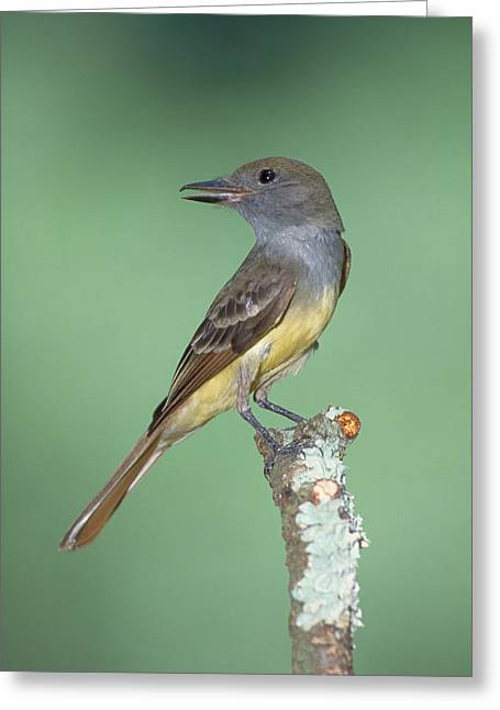 Great Crested Flycatcher Myiarchus Greeting Card