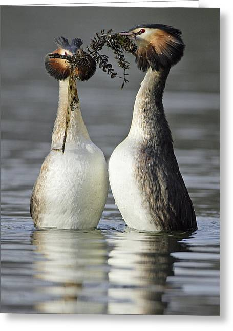 Great Crested Grebe Courtship Greeting Card by Duncan Usher