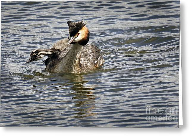 Great Crested Grebe Greeting Card by Inge Riis McDonald