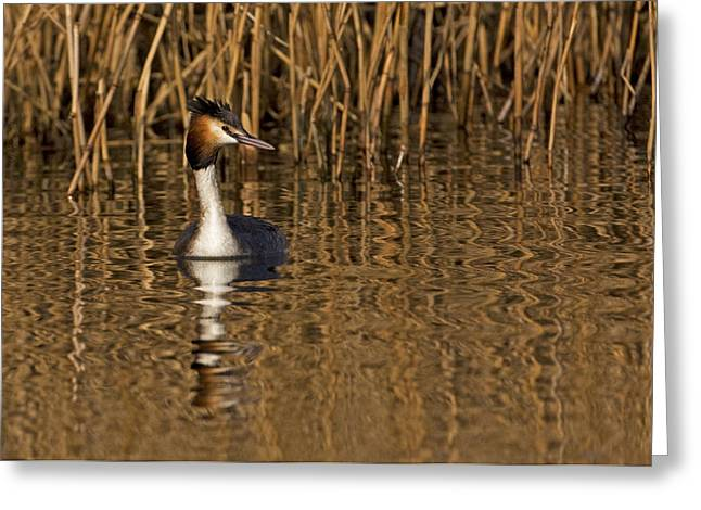 Greeting Card featuring the photograph Great Crested Grebe by Paul Scoullar