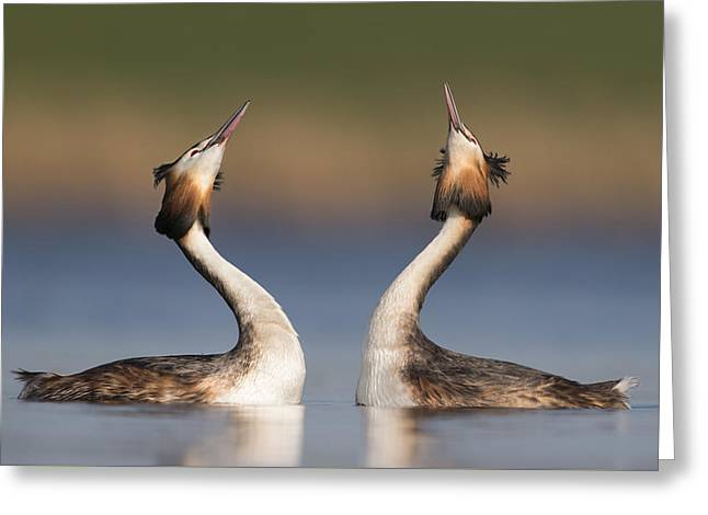 Great Crested Grebes Courting Greeting Card by Franka Slothouber