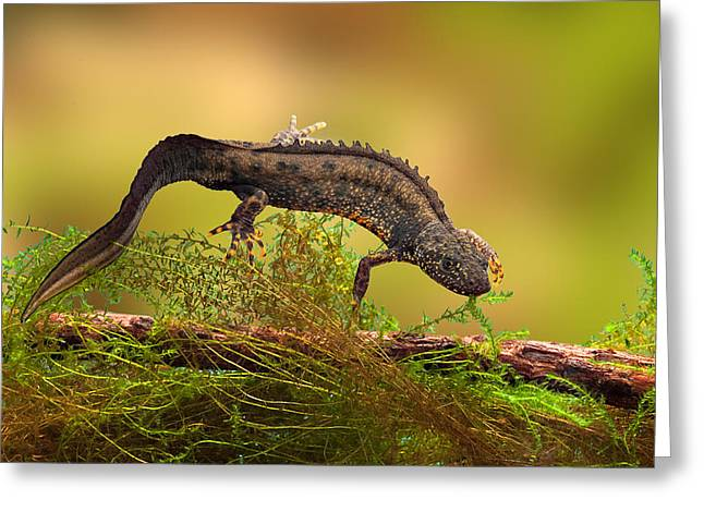 Great Crested New Or Water Dragon Greeting Card by Dirk Ercken