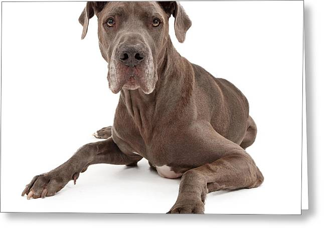 Great Dane Dog Isolated On White Greeting Card by Susan Schmitz