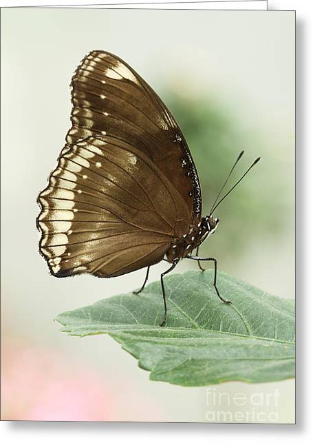 Great Eggfly Butterfly Greeting Card by Judy Whitton