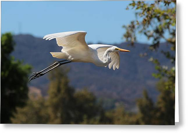 Great Egret 11x14 Greeting Card