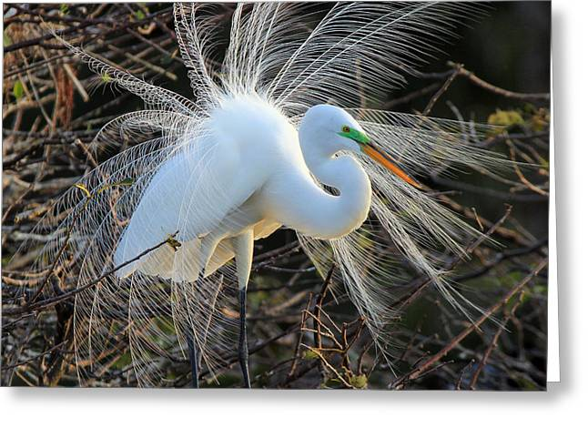 Great Egret Show Off Greeting Card