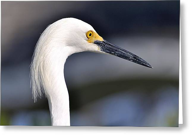 Great Egret Greeting Card by Andres LaBrada
