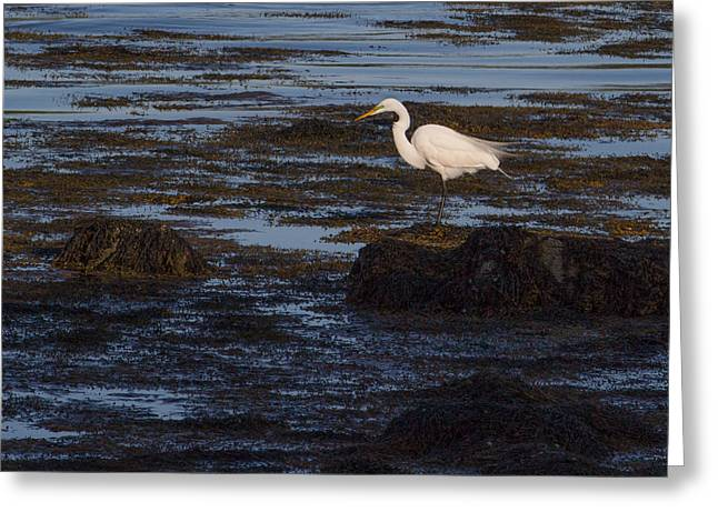 Great Egret At Avery Point Greeting Card