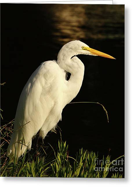 Great Egret At Morning Greeting Card by Robert Frederick