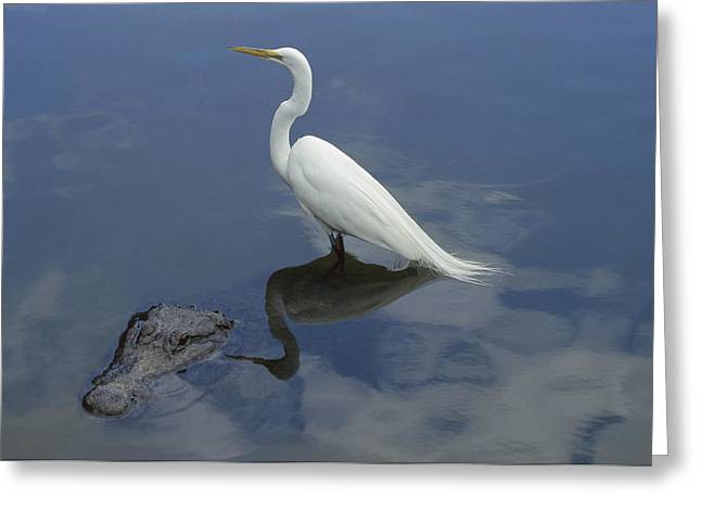Great Egret Atop American Alligator Greeting Card by Heidi & Hans-Juergen Koch