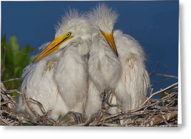 Great Egret Chicks Greeting Card by Jerry Fornarotto