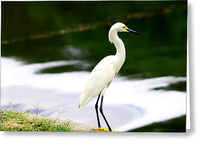 Greeting Card featuring the photograph Great Egret by Debra Forand