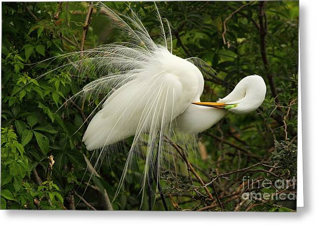 Greeting Card featuring the photograph Great Egret Displaying by Jennifer Zelik