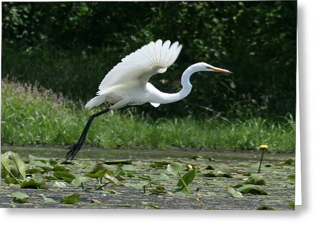 Great Egret Elegance   Greeting Card