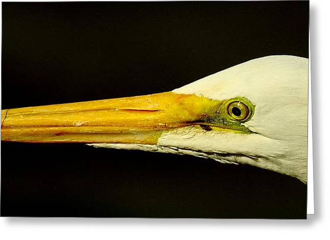 Great Egret Head Greeting Card by Robert Frederick