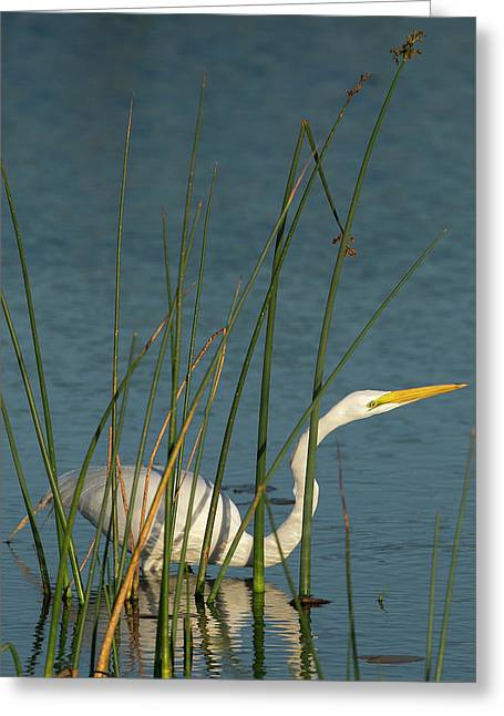 Great Egret Hunting For Its Food Greeting Card by Maresa Pryor