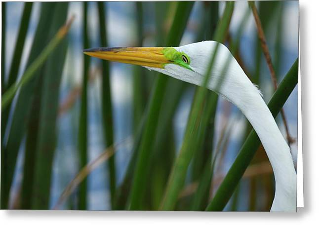 Great Egret Hunting In Soft Stem Greeting Card by Maresa Pryor