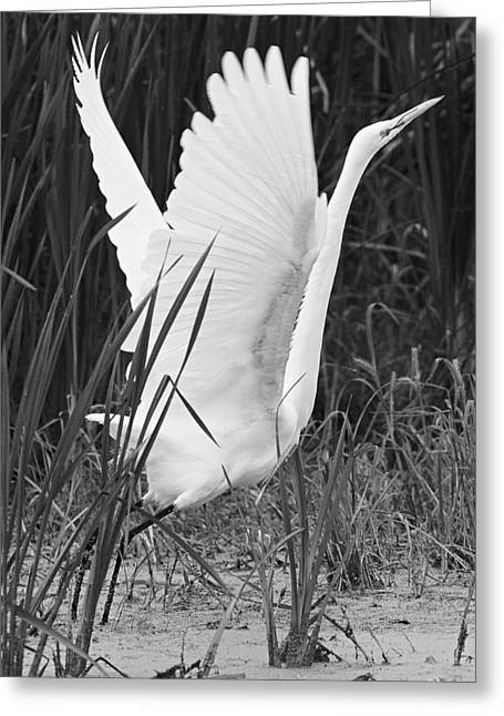 Great Egret In Black And White Greeting Card by Ricky L Jones