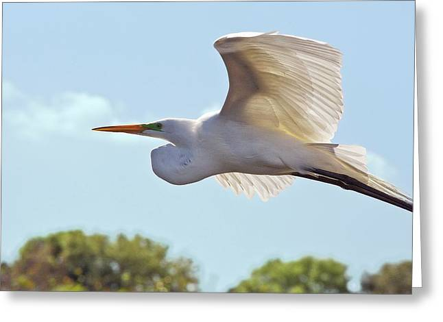 Great Egret In Flight Greeting Card by Bob Gibbons