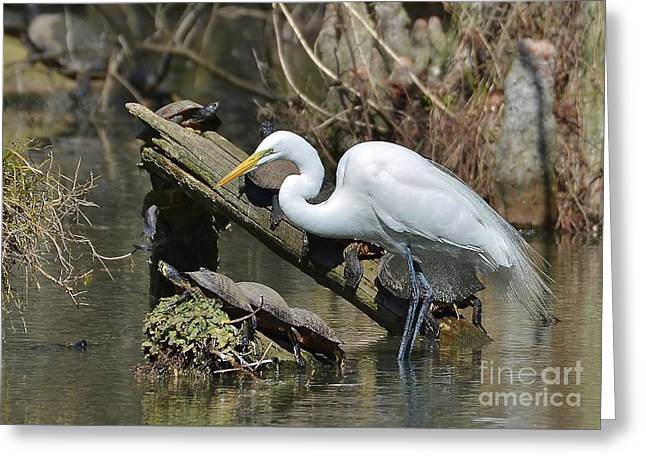 Great Egret In The Swamps Greeting Card by Kathy Baccari