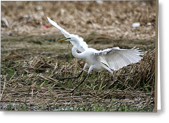 Greeting Card featuring the photograph Great Egret Landing by William Selander