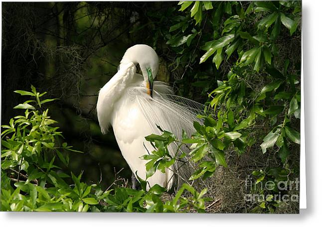 Great Egret Preen Greeting Card