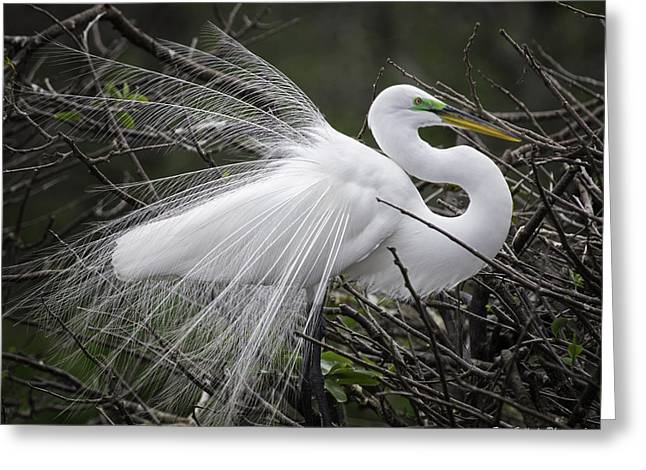 Great Egret Preening Greeting Card by Fran Gallogly