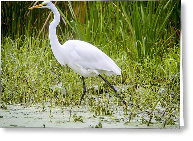 Great Egret Greeting Card by Ricky L Jones